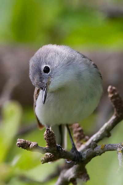 Blue-gray natcatcher