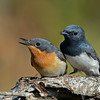 Leaden Flycatcher, Federation Walk Nature Reserve, Gold Coast, Queensland. Female left, male right.