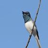 Leaden Flycatcher calling, Spit, Gold Coast, Queensland.