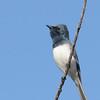 Leaden Flycatcher, Spit, Gold Coast, Queensland.