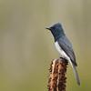 Leaden Flycatcher male (Myiagra rubecula)