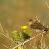 Olivaceous warbler שיחנית קטנה