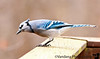 November 20, 2010 - a blue jay comes to visit