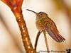 December 16, 2010 - Hummingbird at rest, taken at Arenal Manua hotel, near Fortuna