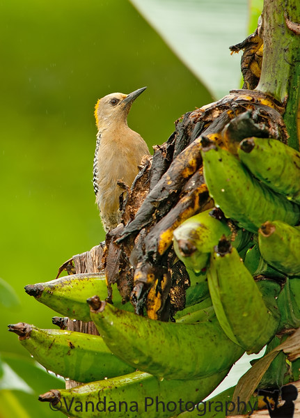 December 29, 2010 - woodpecker feeding on bananas, Arenal volcano area, Costa Rica<br /> <br /> thank you all for the wonderful comments on my butterfly shot yesterday ! really appreciate it !