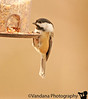 November 16, 2010 - backyard birds - don't know the id ?!<br /> black-capped chickadee, id thanks to Judith !