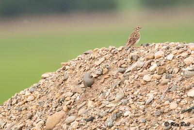 Haywood, Main St E., Manitoba, vesper sparrow: Pooecetes gramineus