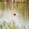 Manitoba, ruddy duck: Oxyura jamaicensis, Souris