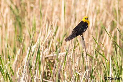 Manitoba, Souris, yellow-headed blackbird: Xanthocephalus xanthocephalus