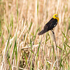Manitoba, Souris, yellow-headed blackbird: Xanthocephalus xanthocephalus