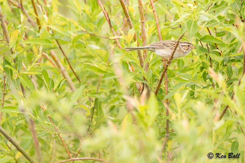 clay-colored sparrow: Spizella pallida, Fannystelle, Main St E., Manitoba