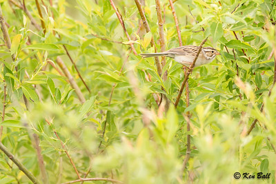 clay-colored sparrow: Spizella pallida, Fannystelle, Main St E., Manitoba