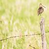 Hwy 18, Manitoba, Wawanesa, Wilson's snipe: Gallinago delicata