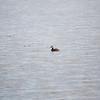 Manitoba, Nesbitt, red-necked grebe: Podiceps grisegena