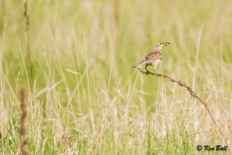 Hwy 18, Manitoba, Wawanesa, western meadowlark: Sturnella neglecta