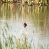 Manitoba, ruddy duck: Oxyura jamaicensis, Souris