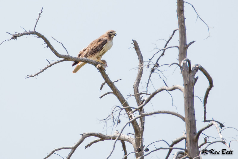 Hwy 17, Ontario, red-tailed hawk: Buteo jamaicensis, Sables-Spanish Rivers