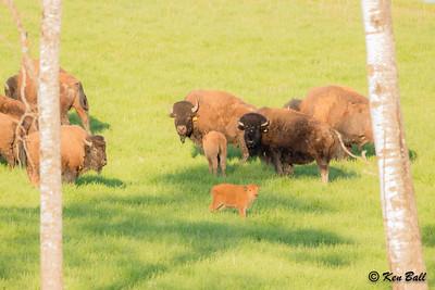Latimer Rd, Ontario, Oxdrift, Plains Bison