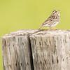 savannah sparrow: Passerculus sandwichensis, 149-101 Worthington 3 Rd, Sleeman, Ontario,