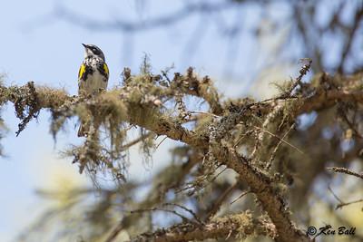 Coastal Hiking Trail, Myrtle, Ontario, Pukaskwa National Park, yellow-rumped warbler: Setophaga coronata