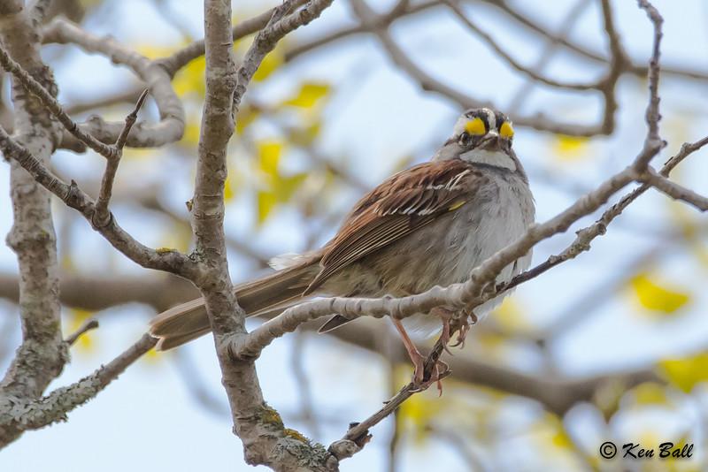 Coastal Hiking Trail, Ontario, Pukaskwa National Park, white-throated sparrow: Zonotrichia albicollis