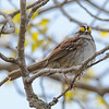 Coastal Hiking Trail, Ontario, Pukaskwa National Park, white-throated sparrow: Zonotrichia albicollis