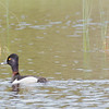 Hwy 627, New Pukaskwa Road, Ontario, ring-necked duck: Aythya collaris