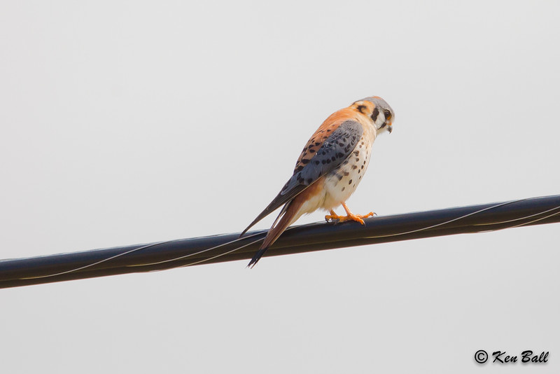17 Trans-Canada Hwy, American kestrel: Falco sparverius, Ontario, White River