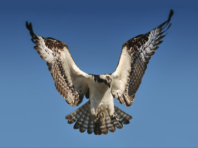 while I have photgraphed Ospreys in CU area, this picture is from Florida