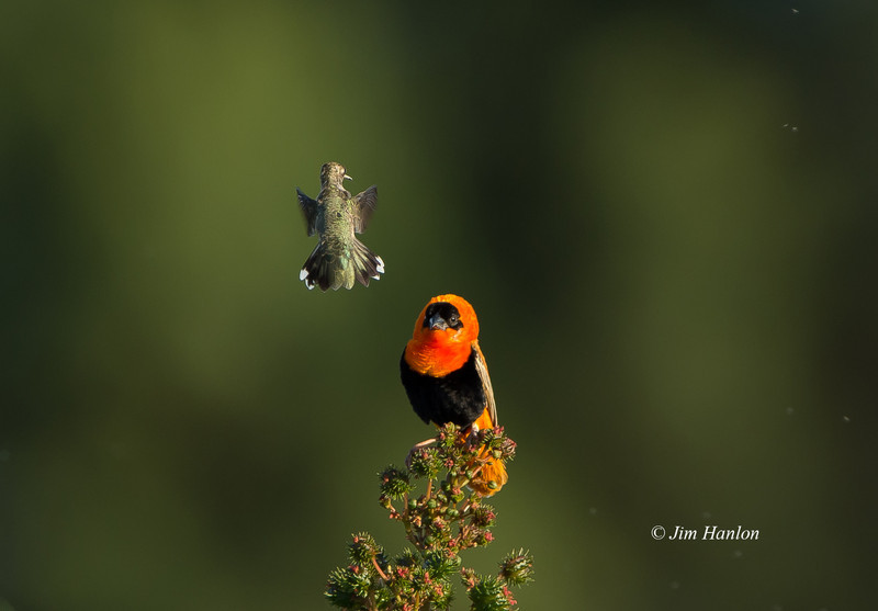 Orange Bishop (Euplectes franciscanus) defending his perch against protective Allen's Hummingbird female.
