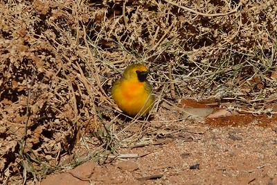 Orange Chat - Male