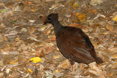 Orange-footed Scrub-fowl
