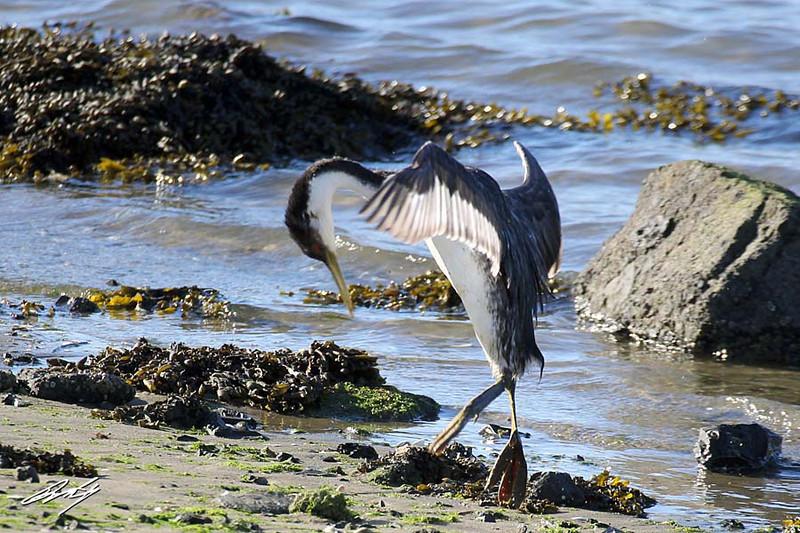Western Grebe, Yaquina Bay, Newport, Oregon. 14 February, 2013.