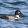 Common Goldeneye (m), South Jetty, Newport, Oregon. 14 February 2013.