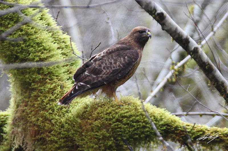 Red-tailed Hawk, 10-Mile Creek, Yachats, Oregon. 13 February, 2013.