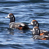 Harlequin Duck (m), South Jetty, Newport, Oregon. 14 February 2013.