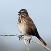 Song Sparrow, South Jetty, Newport, Oregon. 14 February 2013.