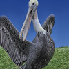 Brown Pelican-Pacific