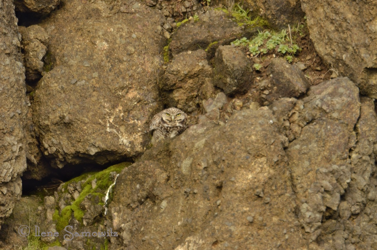 "Burrowing Owl in Yaquina Head Natural Area, Oregon.  More photos of the owl and the very rare bean goose can be seen at <br /> <a href=""http://www.ilenesamowitz.com/Birds/Oregon-Coast-Rarities/46586601_RQ9vqq#!i=3786801539&k=zNGRTFL"">http://www.ilenesamowitz.com/Birds/Oregon-Coast-Rarities/46586601_RQ9vqq#!i=3786801539&k=zNGRTFL</a>"