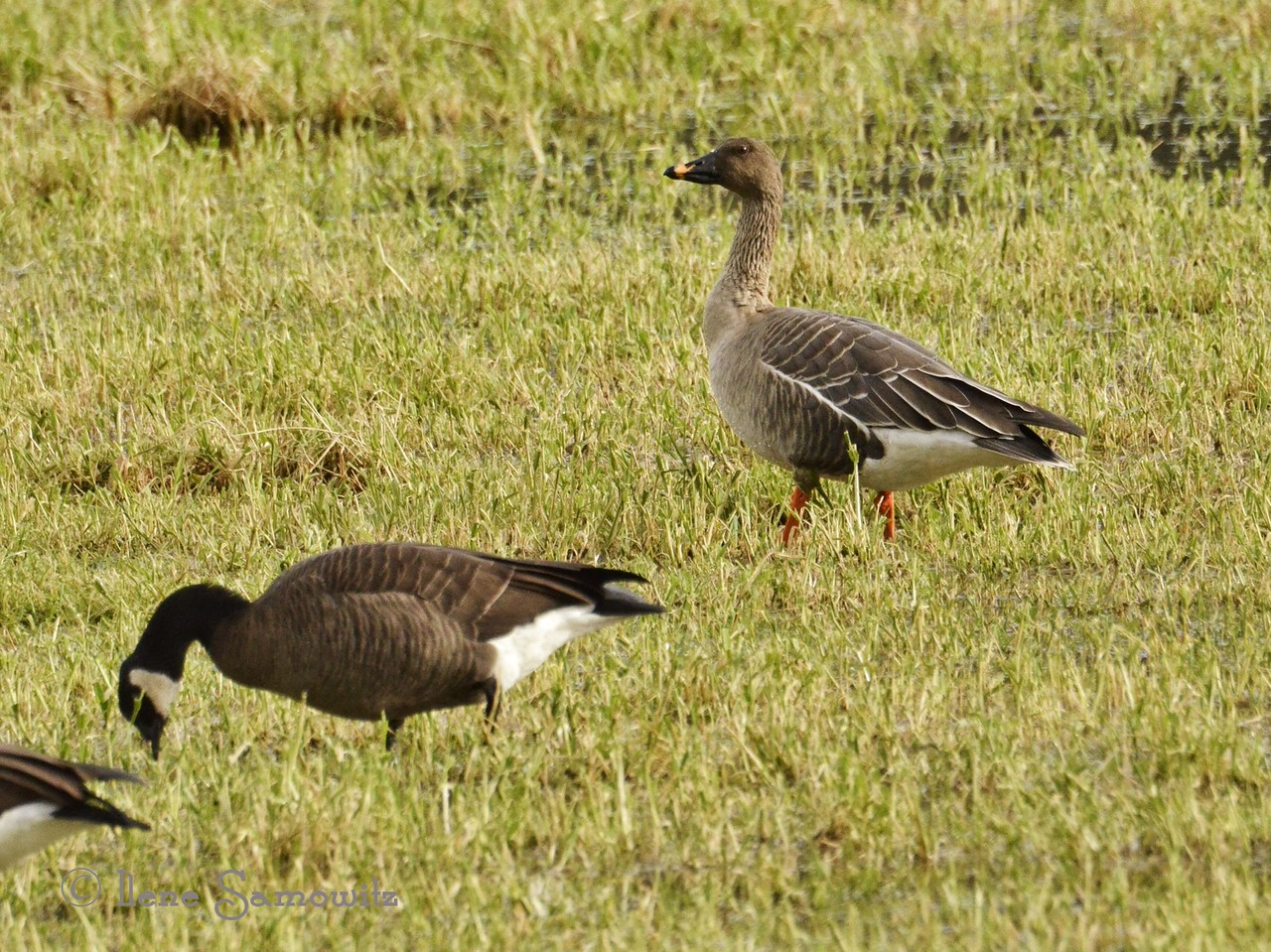 Tundra Bean Goose at Nestucca Wildlife Refuge