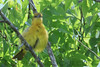 Orchard Oriole (b0504)