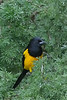 Black Vented Oriole (b1484)