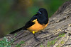 Black Vented Oriole (b1481)