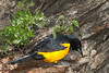 Black Vented Oriole (b1482)