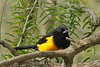 Black Vented Oriole (b1483)