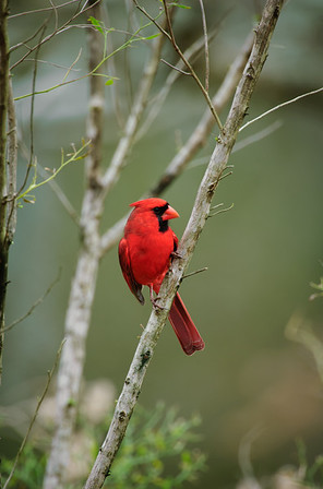 Northern Cardinal-111, Houston, TX