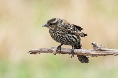 Red-winged Blackbird - female (Agelaius phoeniceus)