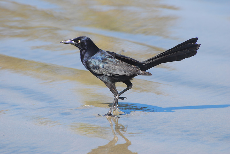 Great-tailed Grackle (Quiscalus mexicanus)