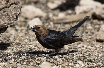 Brown-headed Cowbird - male (Molothrus ater)