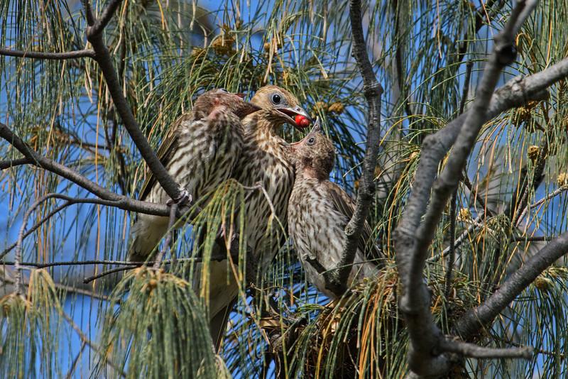 Australasian Figbird fledglings (Sphecotheres vieilloti)